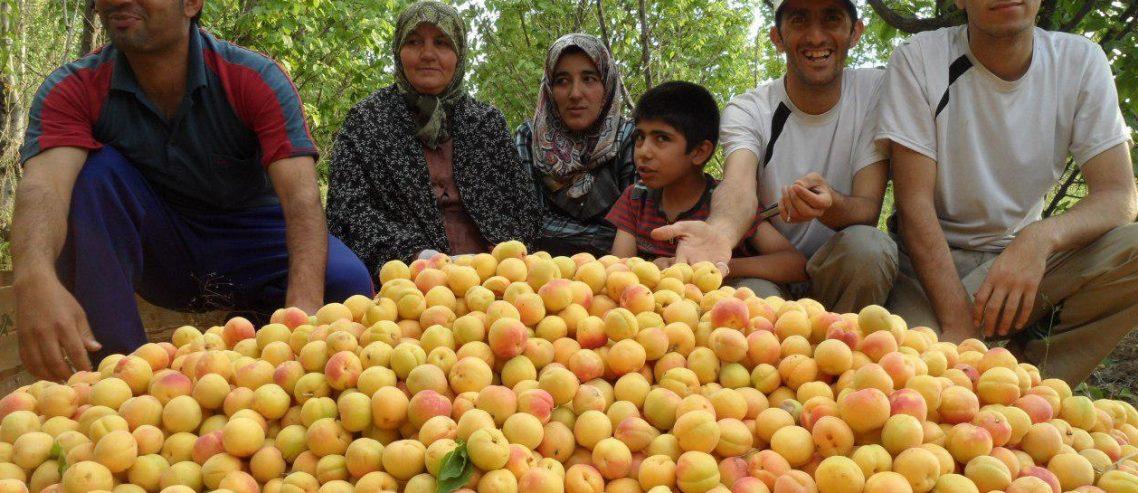 خانواده در باغ زردآلو در فصل برداشت