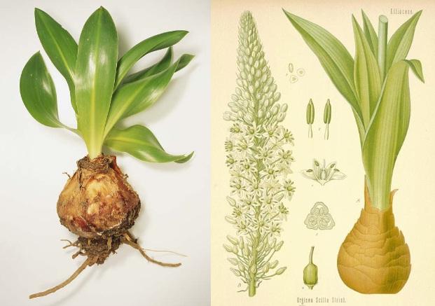 گیاه روغن کندش- خواص روغن کندش-مجله باسلام
