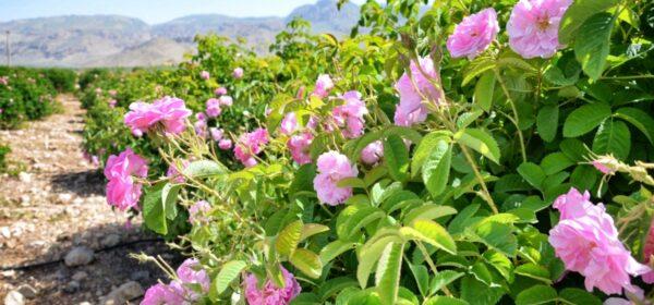 بازار باسلام - basalam - گل محمدی - گلاب