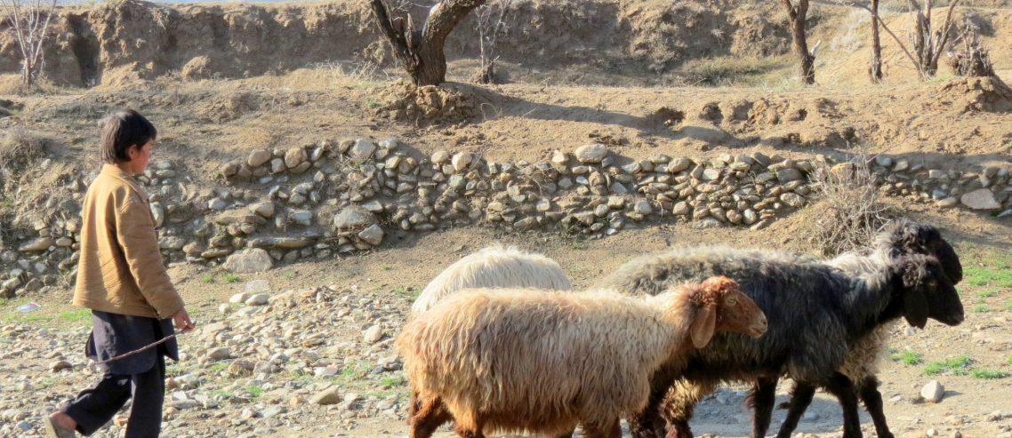 پسرک چوپان و گوسفندهایش
