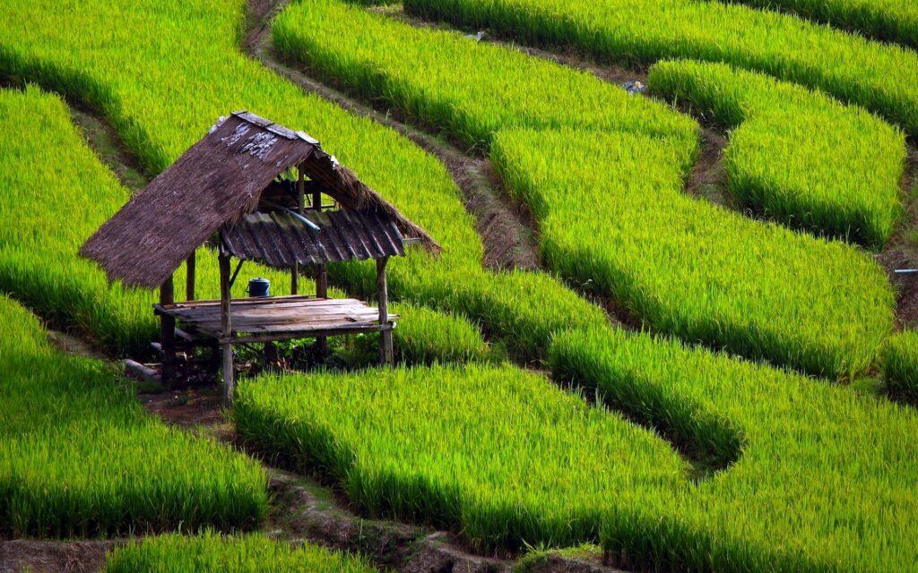شالیزار-برنج شمال-مجله باسلام