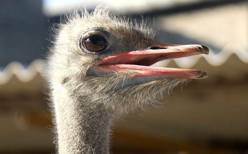 پرورش شترمرغ- پرورش شتر مرغ لطیفی-مجله باسلام