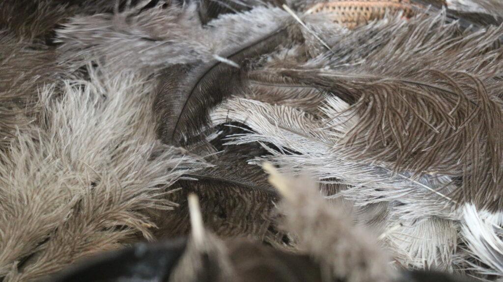 پر شترمرغ- پرورش شتر مرغ- مجله باسلام