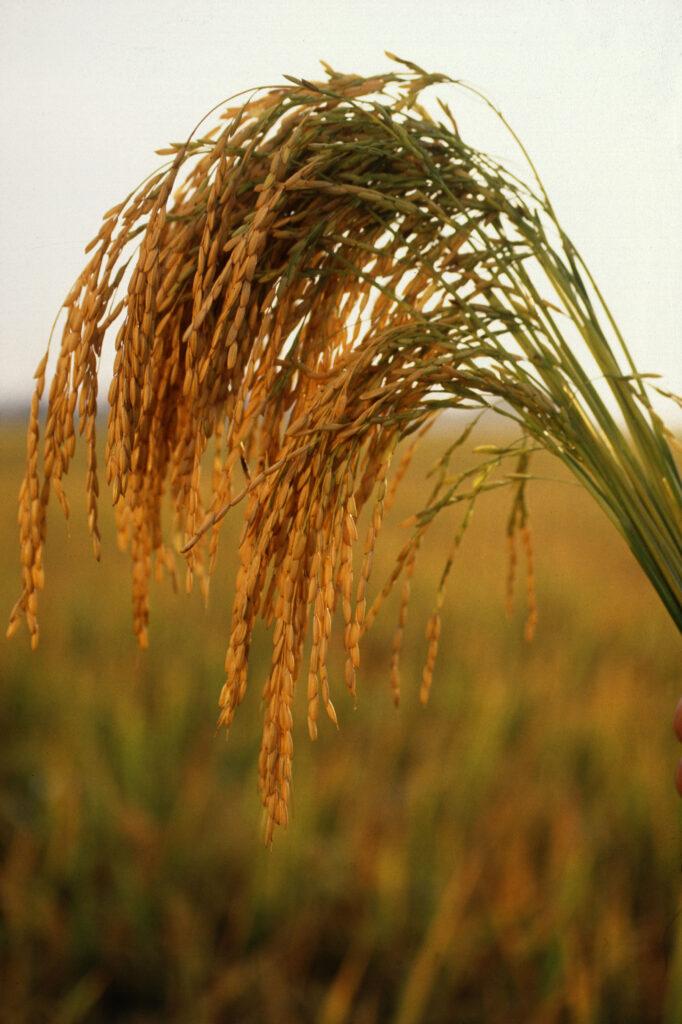 خوشه برنج-برنج شمال-مجله باسلام