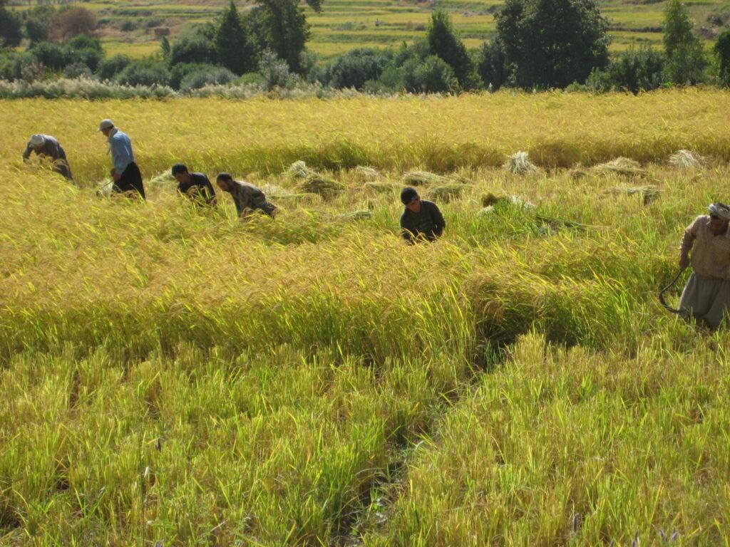 برداشت برنج-برنج شمال-مجله باسلام