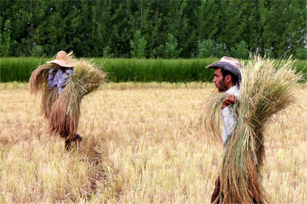 شالیکاران زحمتکش-مجله باسلام-برنج شمال