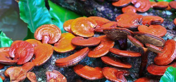 قارچ گانودرما- خواص قارچ گانودرما- مجله باسلام