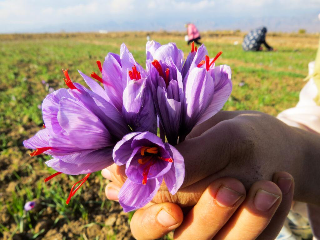 خرید زعفران-گل زعفران-مجله باسلام