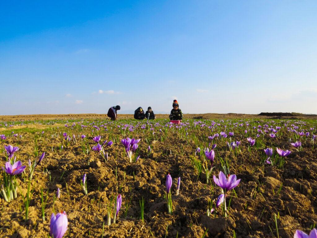 جشنواره یک مزرعه طلا-خرید زعفران-مجله باسلام