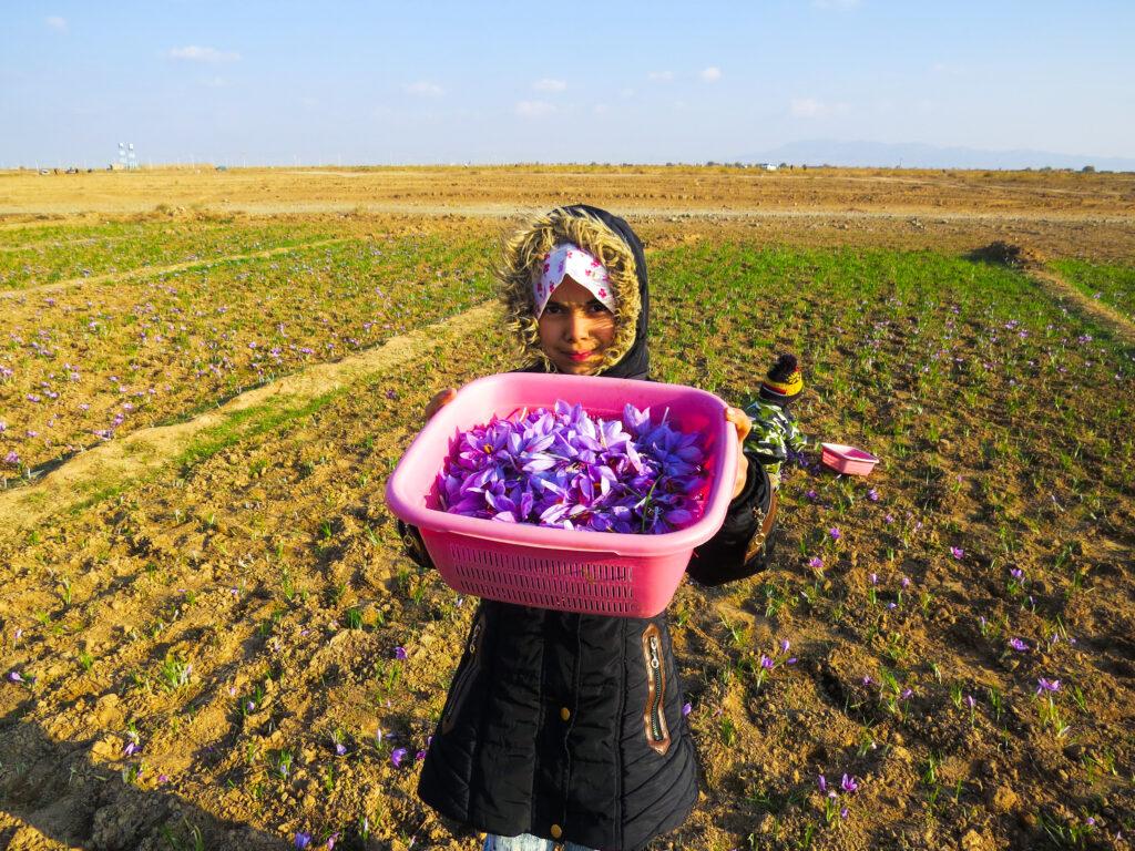 خرید زعفران-کودکان کشاورز-مجله باسلام