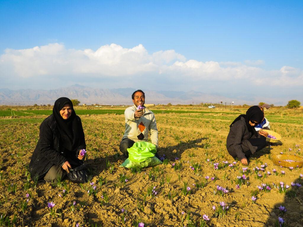 خرید زعفران- جشنواره یک مزرعه طلا-مجله باسلام
