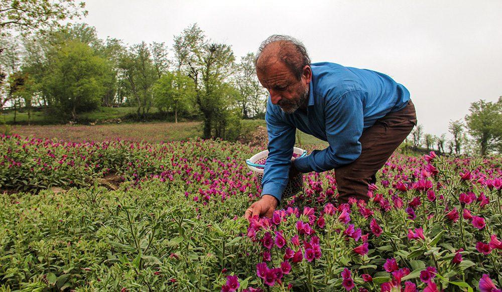 چیدن گل گاو زبان - خواص گل گاو زبان-مجله باسلام