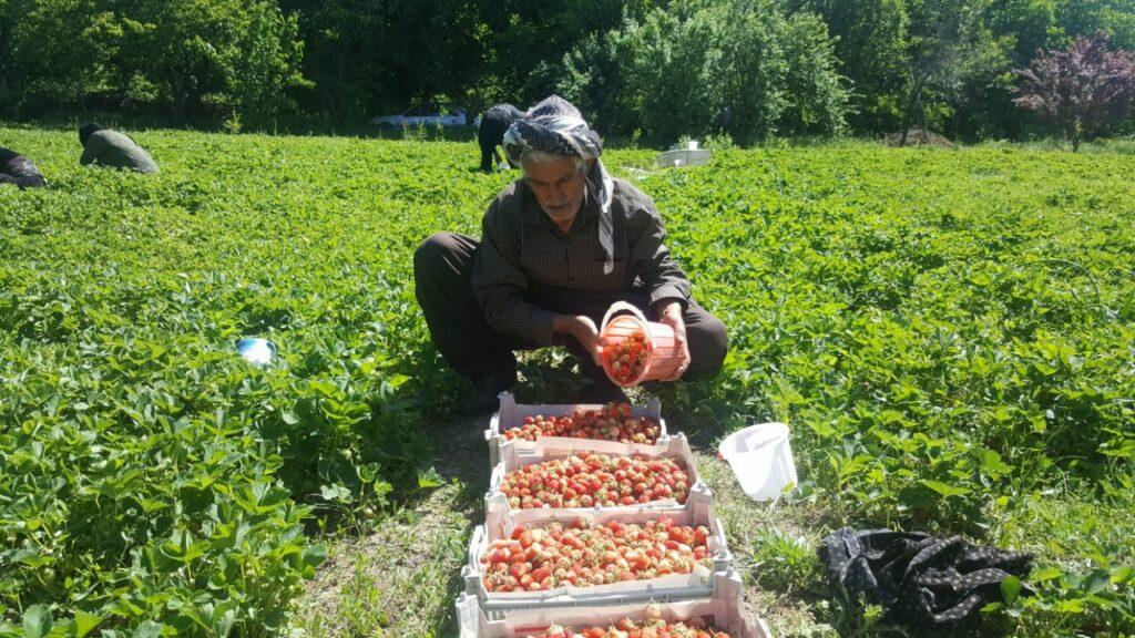 برداشت توت فرنگی های تازه در کردستان- محصولات محلی کردستان- مجله باسلام