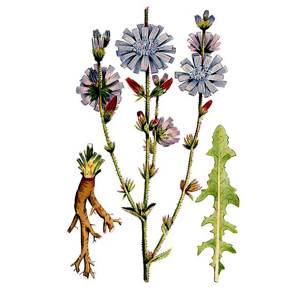 اجزای تشکیل دهنده گیاه کاسنی-خواص عرق کاسنی-مجله باسلام