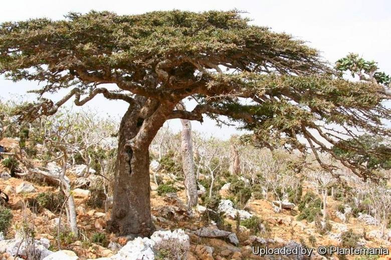 عکس درخت کندر